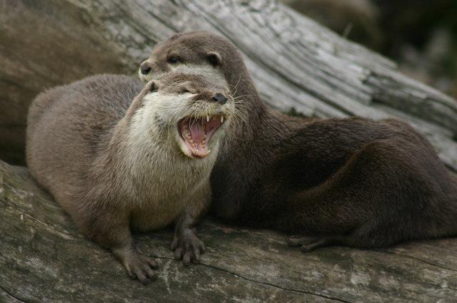 Otters at the Blue Planet Aquarium Ellesmere Port Wirral