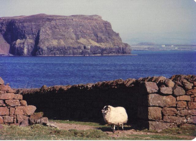 Solitary sheep