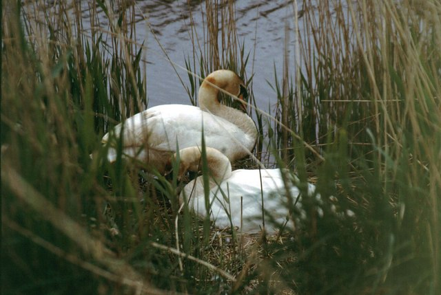 Swans on Hickling Broad