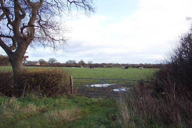Dairy cows on pasture off Atterwith Lane