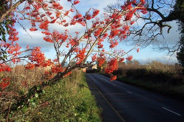 Rowan berries by Moor Lane