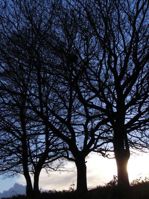 Oak trees on Yew Tree Heath, New Forest