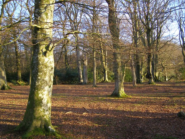 Beech woodland west of Ferny Crofts, New Forest