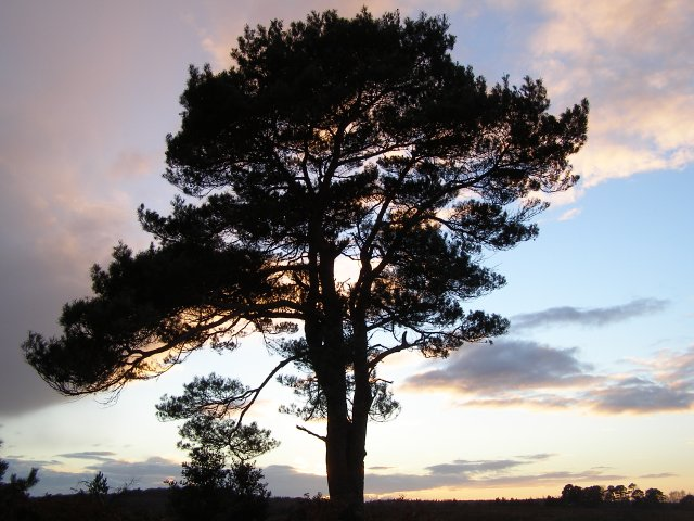 Scots pine tree at Stephill Bottom, New Forest