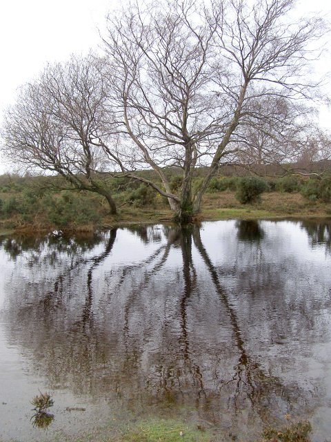 Silver birch and small pond on Stoney Cross Plain, New Forest