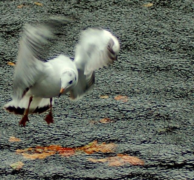 Netley Gull