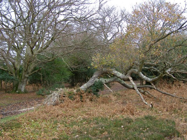 Fallen oak on the edge of Stonard Wood, New Forest
