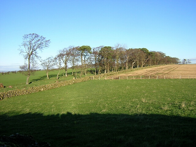 Hillside Trees Near Laigh Borland