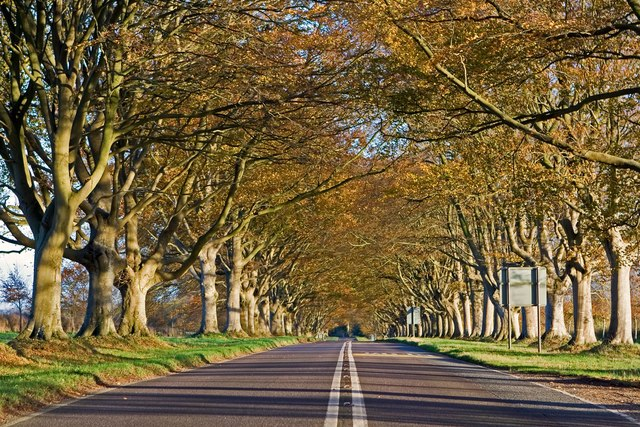 Tree lined road to Kingston Lacy