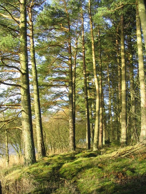 Pine trees at Catcleugh Reservoir