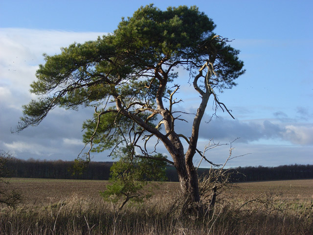 Pine tree, Knighton Bushes