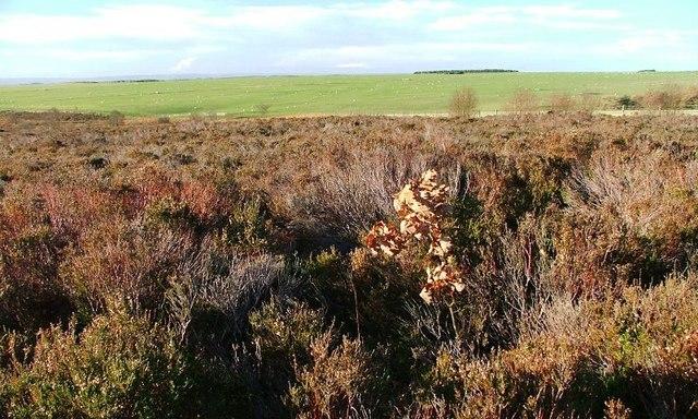 Self Sown Oak Tree, Grime Moor
