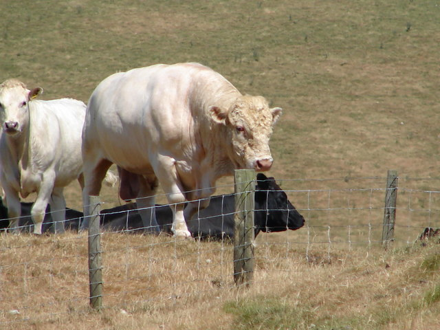 Bull at Banc Blaen Magwr