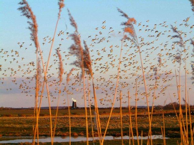 Geese over Burnham Norton