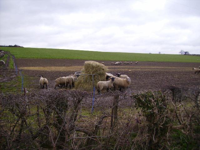 Sheep enjoying winter feed