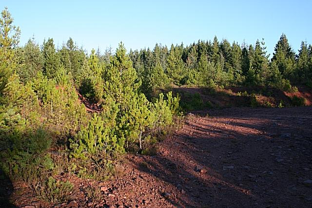 Scots Pines