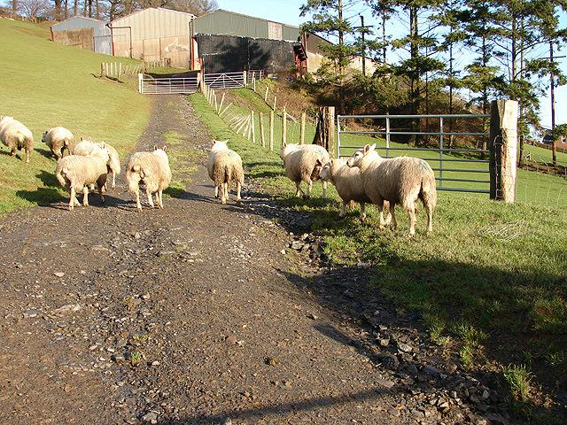 Sheep at Rhiwbrongelly Farm