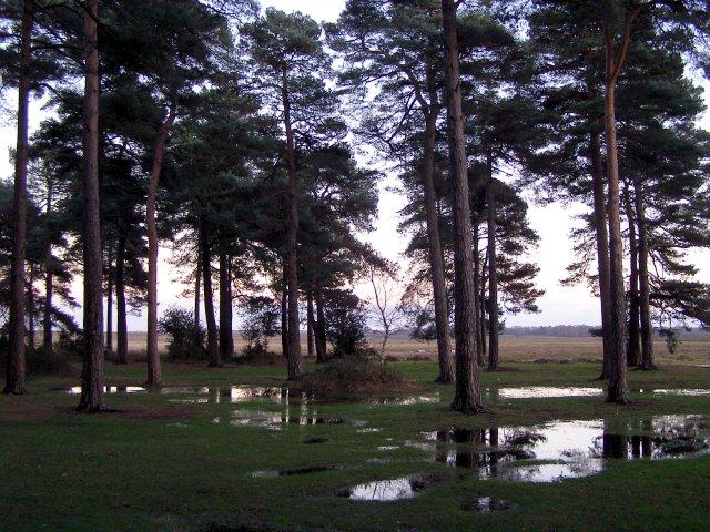 Pines near Beaulieu Road car park, New Forest