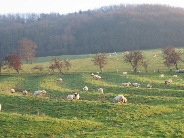 Sheep grazing in ridge and furrow
