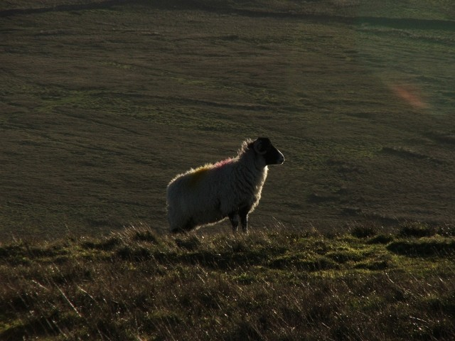 Sheep in Sunlight.
