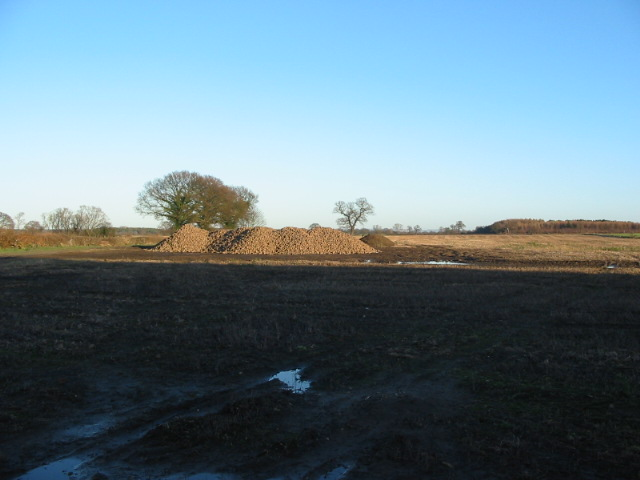 Piles of sugar beet at Swan Farm Deighton