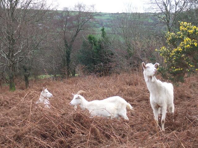 Browsing goats beside Ffordd Cilgwyn