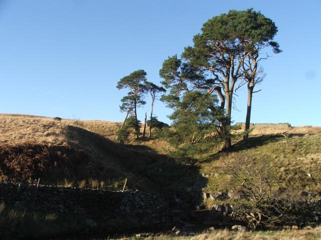 Pine Trees in Cragdale.