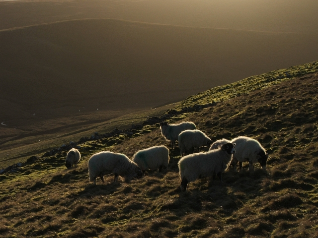 Sheep in Winter Sunlight.