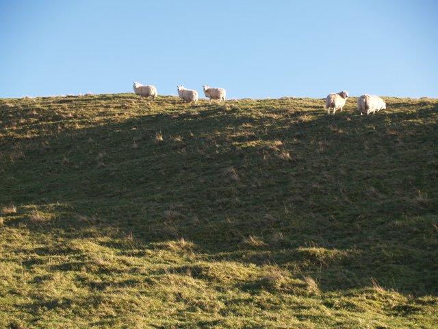 Grazing sheep, Meg's Hill.