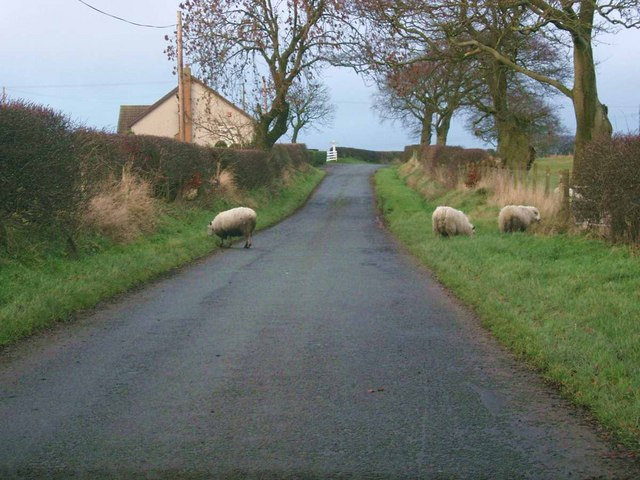 Sheep on the road at Fernieshaw