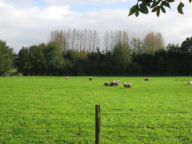 Sheep And Poplars