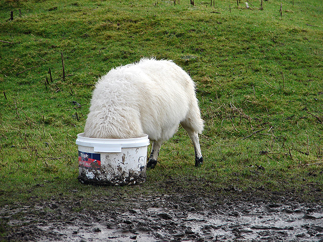 Sheep's head in a bucket