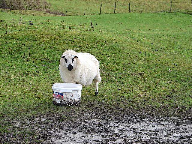 Sheep at Bwlch Coch
