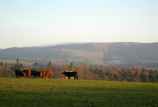 Cattle at Tranew