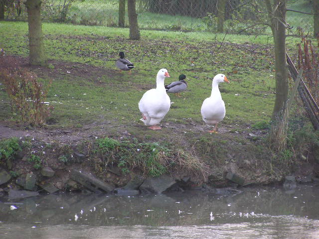 Geese at Bradfield's pond