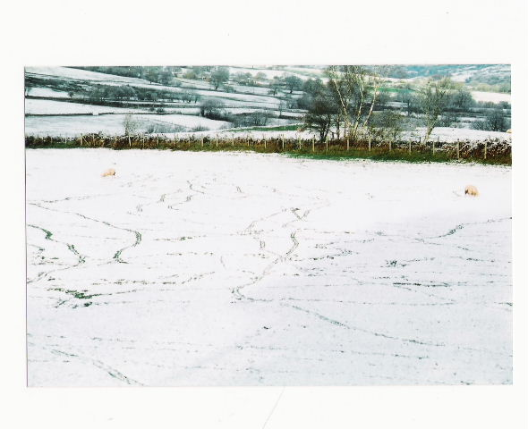Sheep Tracks in the Snow.