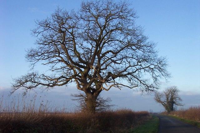 A winter oak