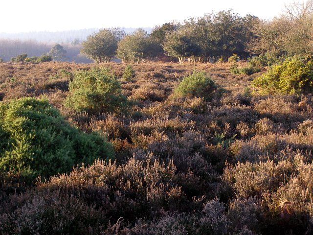 Heathland, Marrowbones Hill, New Forest