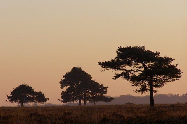 Scots pine on Backley Plain, New Forest