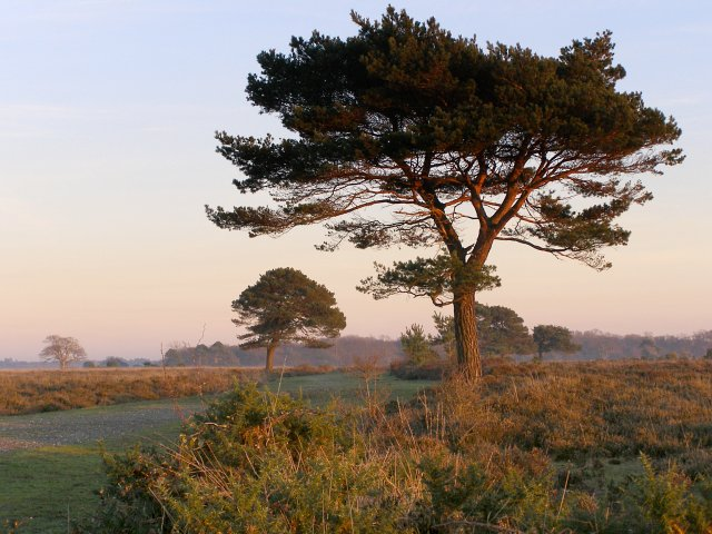 Pine trees on Backley Plain, New Forest