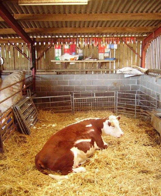 Modern cowhouse