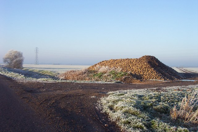Pile of sugar beet