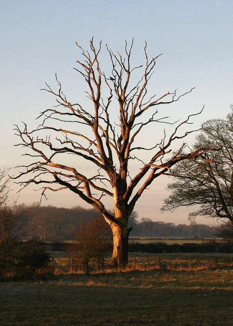 Evening light on dead tree
