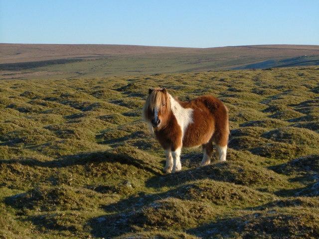 Pony on Cudlipptown Down