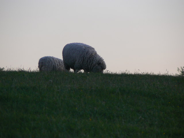 Sheep near Barbury Castle