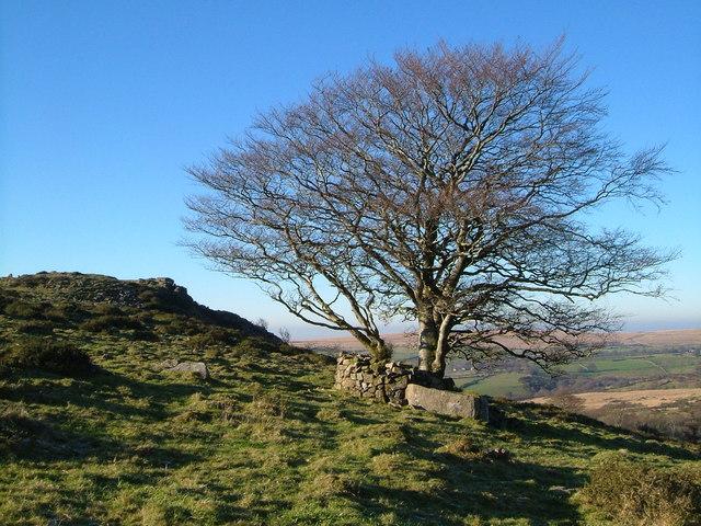 Beech tree and Baggator