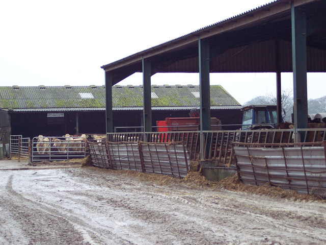 Cattle at Netton Farm