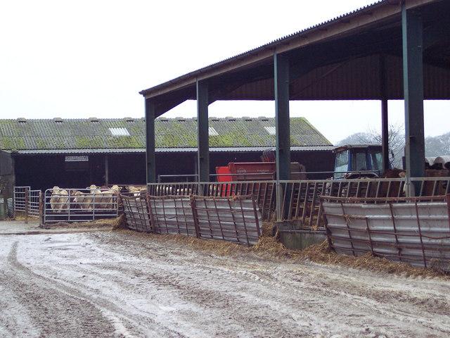 Cattle at Netton Farm