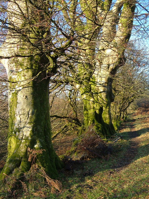Beeches near the Tavy