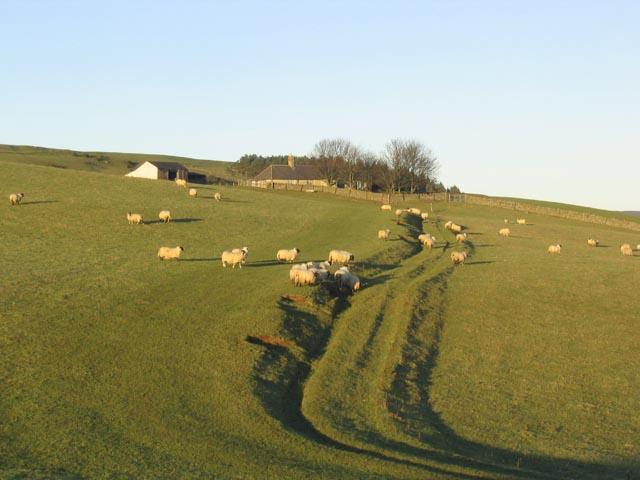 Sheep pasture